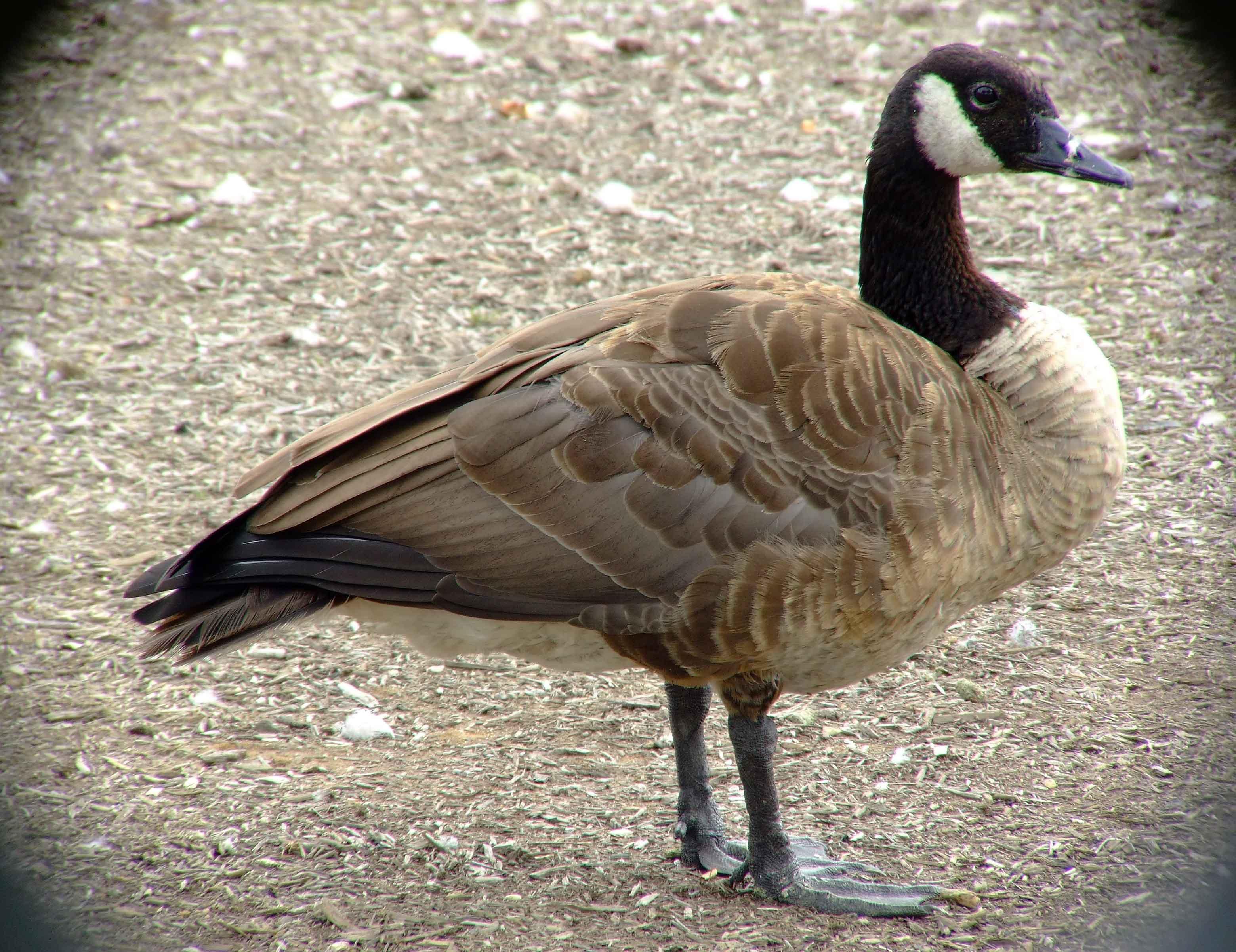 canada goose fur matted