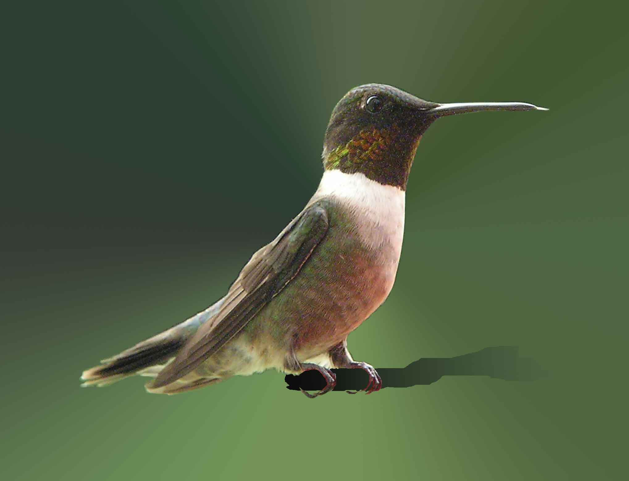 ruby red humming-birds essay Vote for ruby-throated hummingbird in canada's national bird project these  small  while males have bright-red throats, all have grey-white underparts   comments and essays appear in the language in which they were submitted.